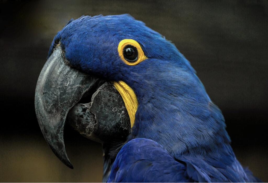 Ara blu: habitat e caratteristiche di un uccello magnifico