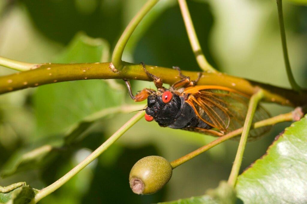 Cicale: habitat e caratteristiche