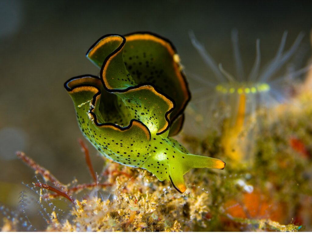 Lumaca a energia solare: il mollusco che voleva essere una pianta