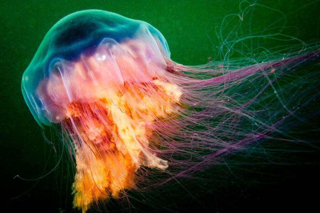 Alla scoperta delle 6 meduse più grandi del mondo