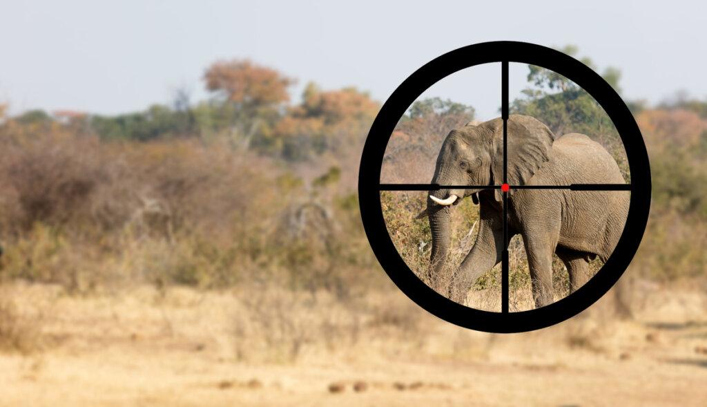 Perché alcuni elefanti hanno le zanne e altri no?