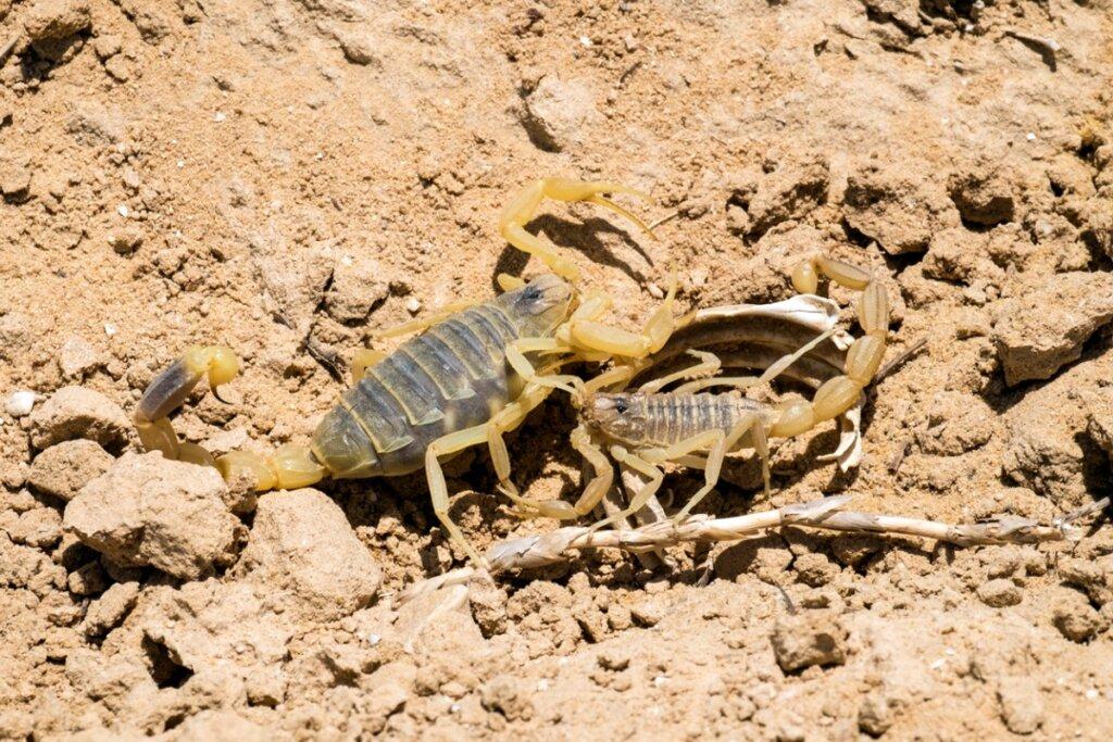 Scorpione giallo: uno dei più velenosi al mondo