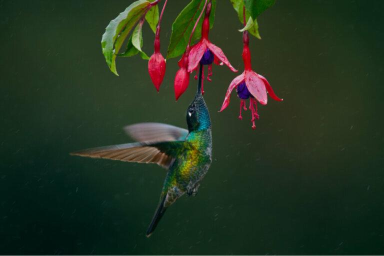 Perché il colibrì svolazza così velocemente?