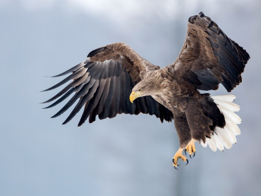 Aquila di mare coda bianca: habitat e caratteristiche