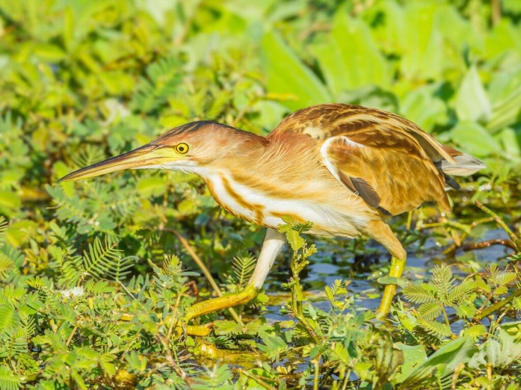 Tarabuso: habitat e caratteristiche di uccello dei luoghi umidi