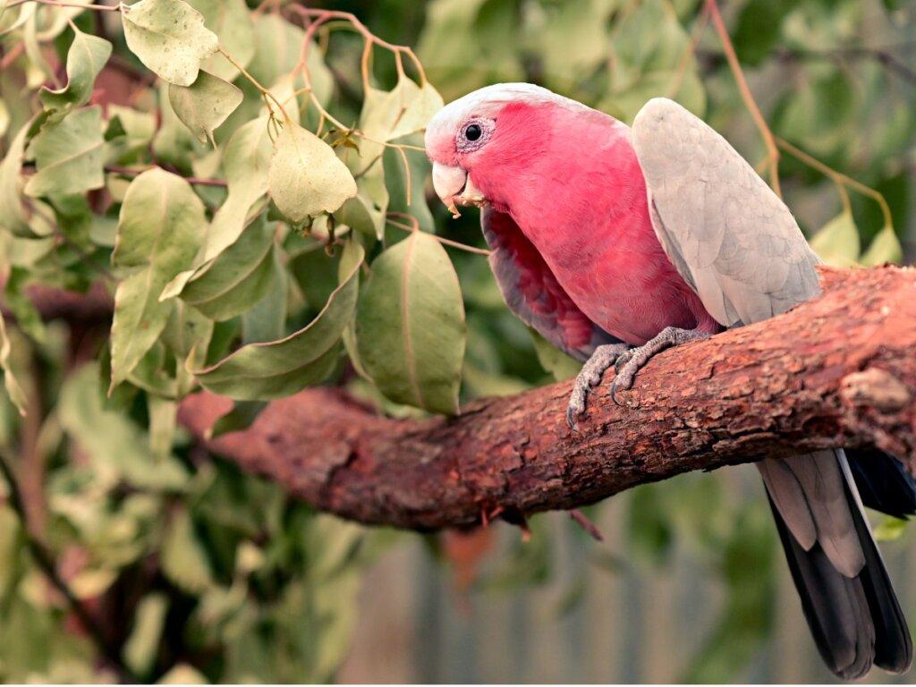 Cacatua rosa: habitat e caratteristiche