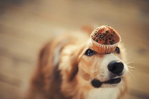 Una dolce ricetta per cani: muffin allo yogurt e burro di arachidi