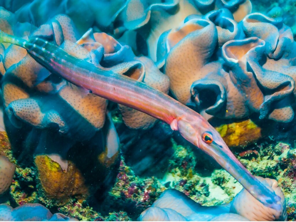 Pesce trombetta: habitat e caratteristiche