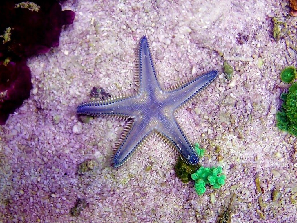 Come respirano le stelle marine?