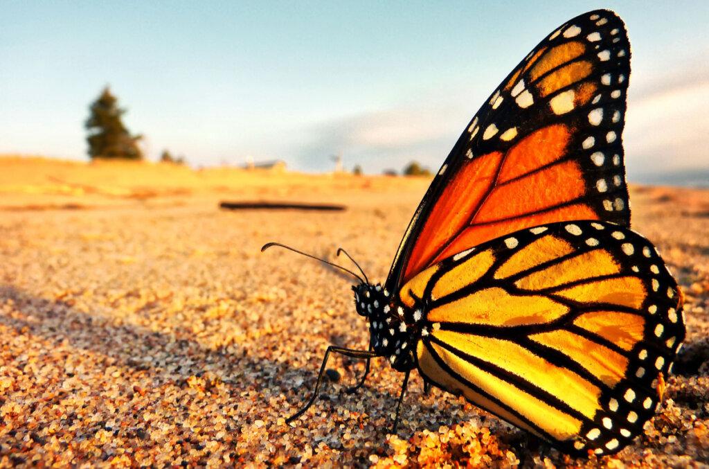 La farfalla monarca è in pericolo di estinzione