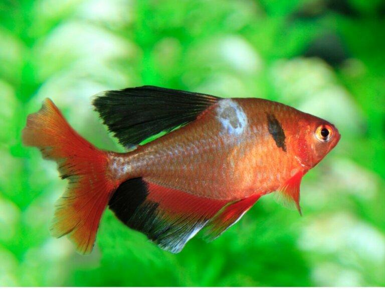 I funghi nei pesci: tipi, sintomi e cure