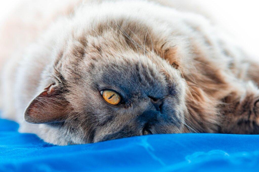 Gatto britannico a pelo lungo: origine e caratteristiche