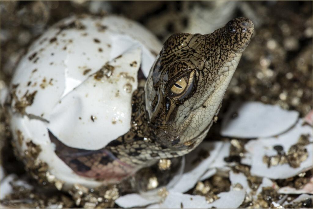 Come si riproducono i coccodrilli?