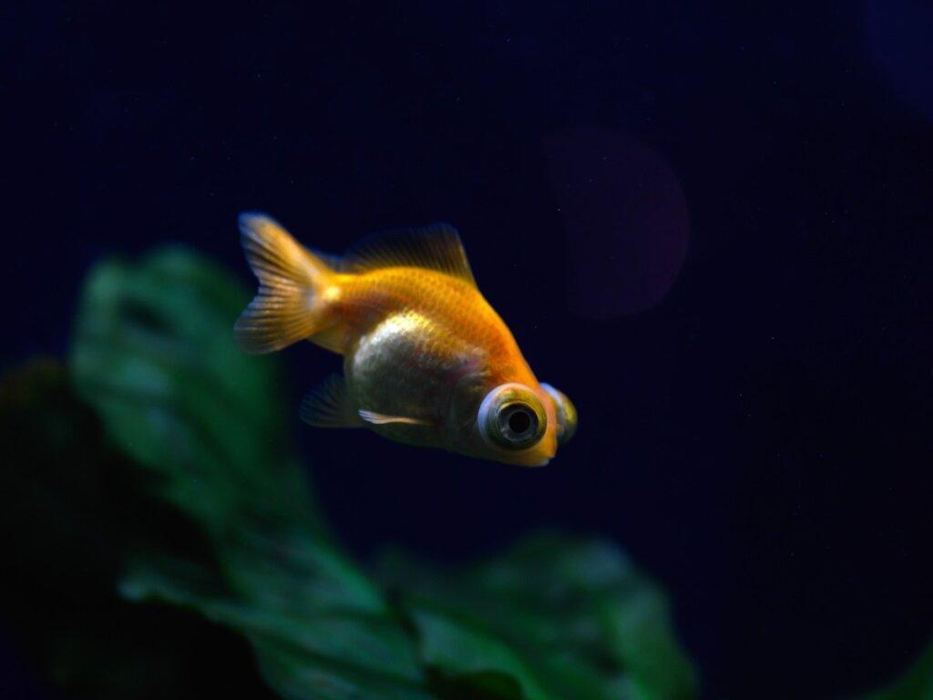 Esoftalmia nei pesci: tutto quello che c'è da sapere
