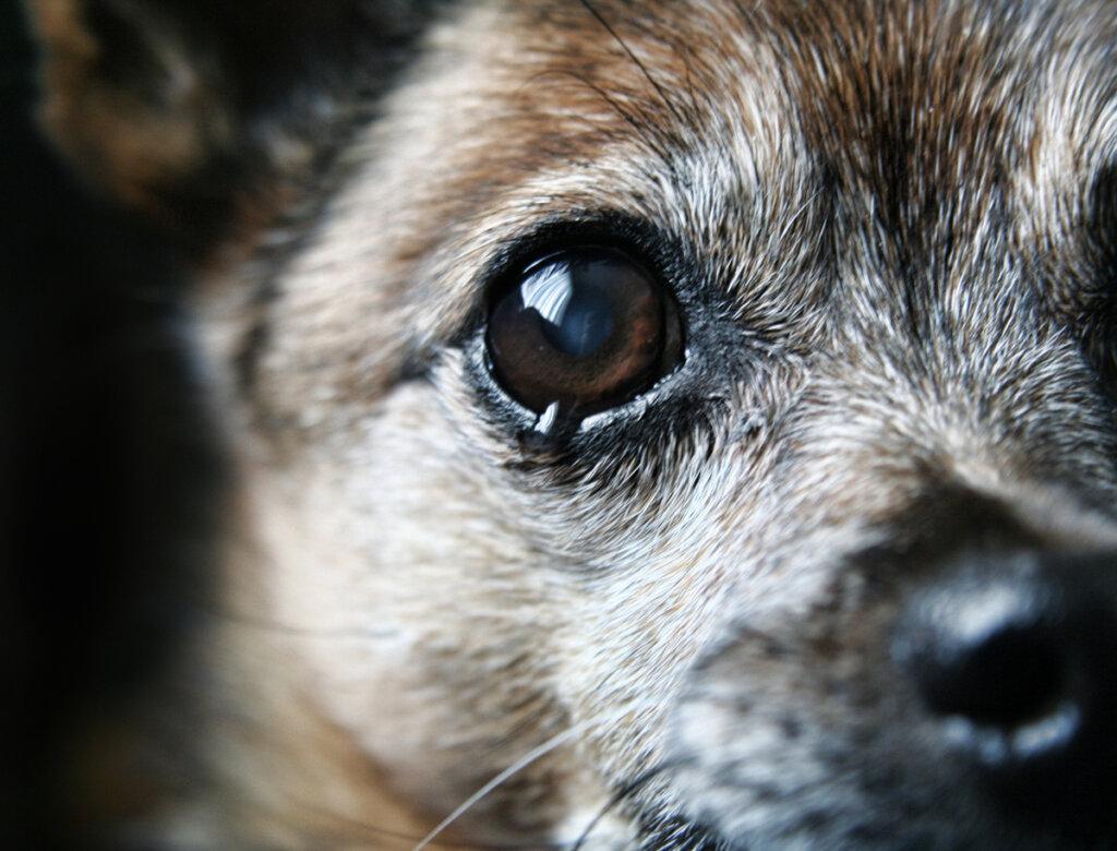 Perché il mio cane non smette di piangere?