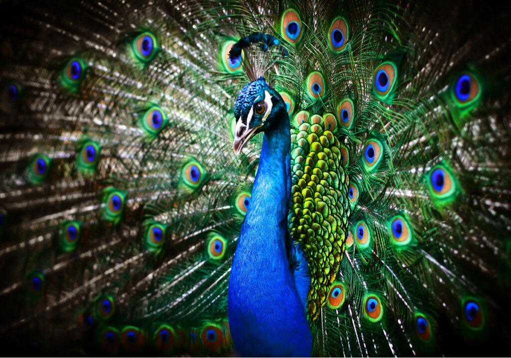 Perché il pavone allunga la coda?