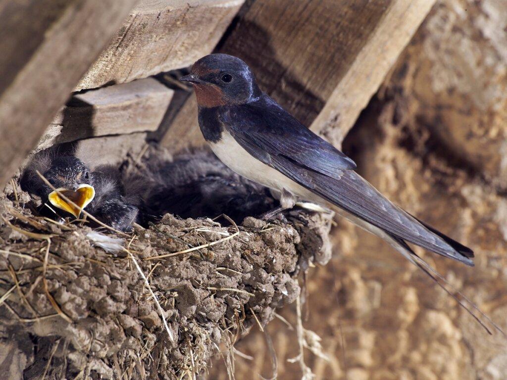 Come nutrire una rondine caduta dal nido o ferita?