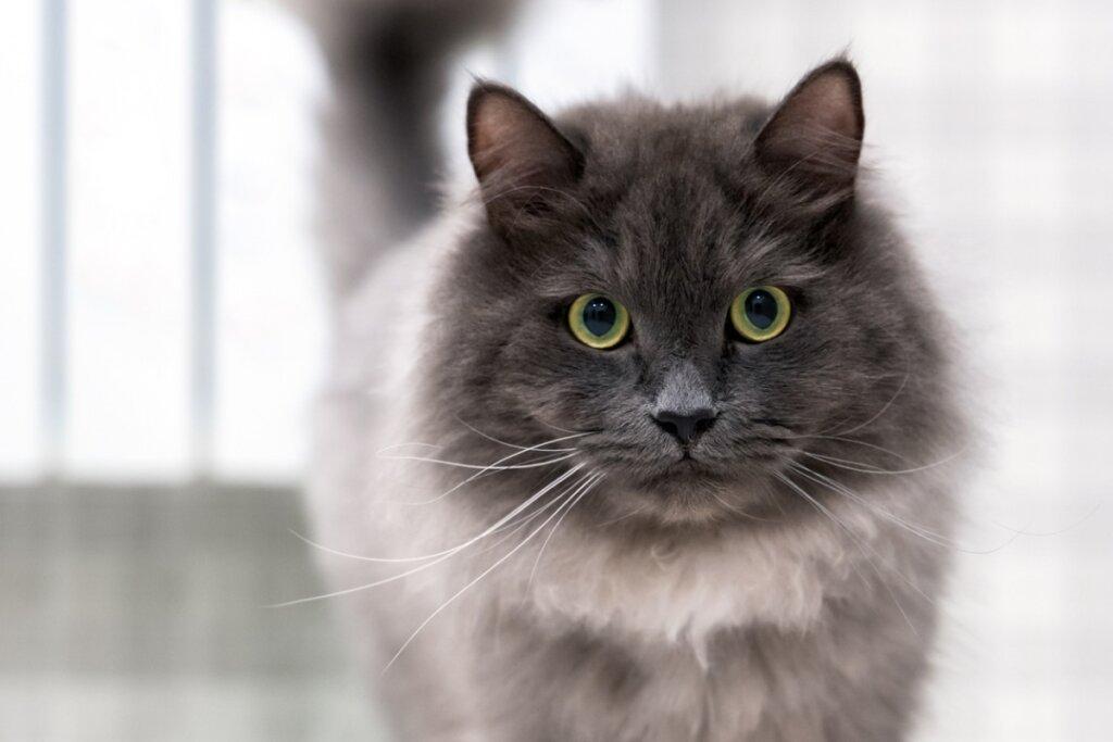 Come identificare il dolore nei gatti?