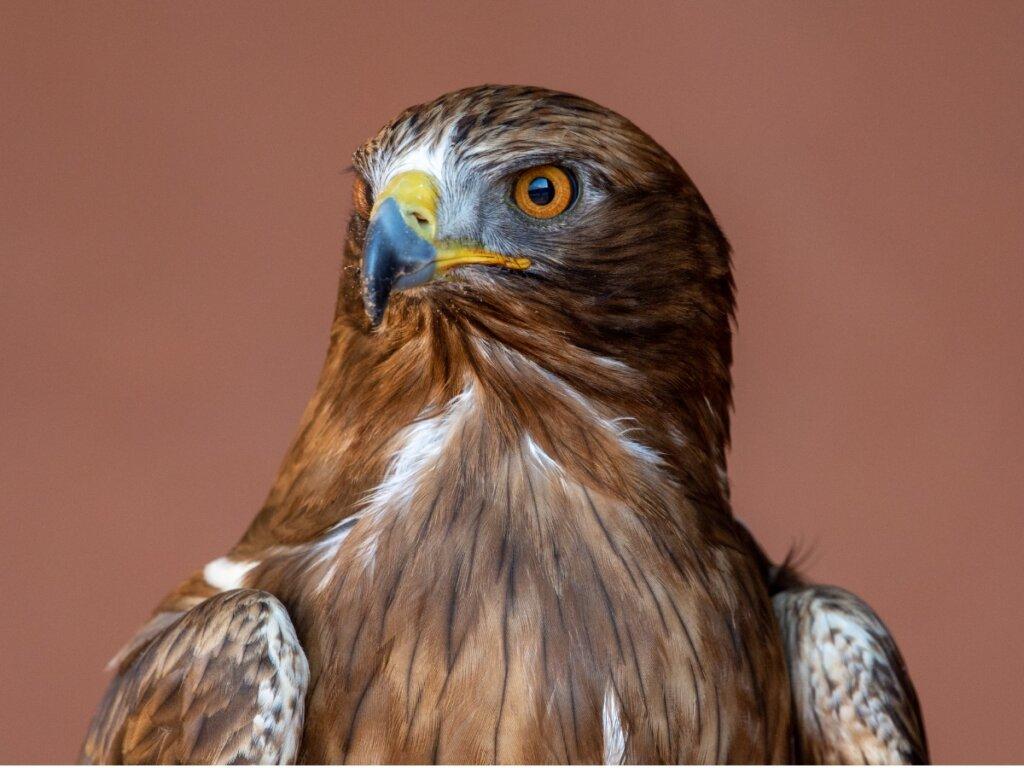 Aquila minore: habitat e caratteristiche