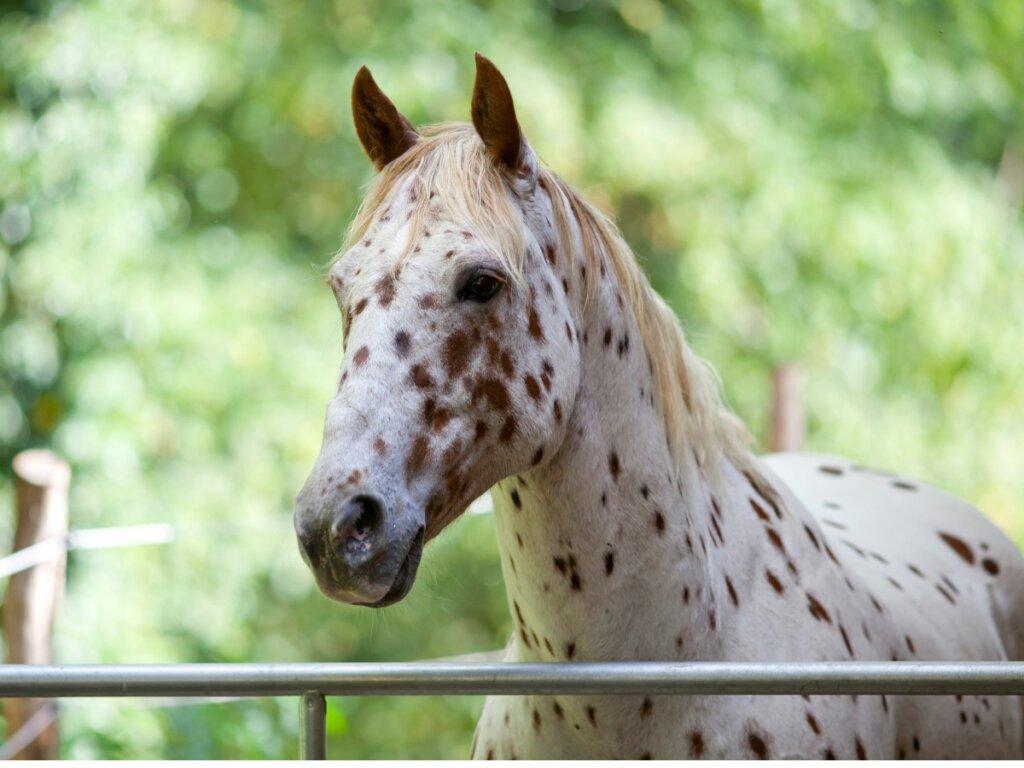 Cavallo Appaloosa: origine e caratteristiche