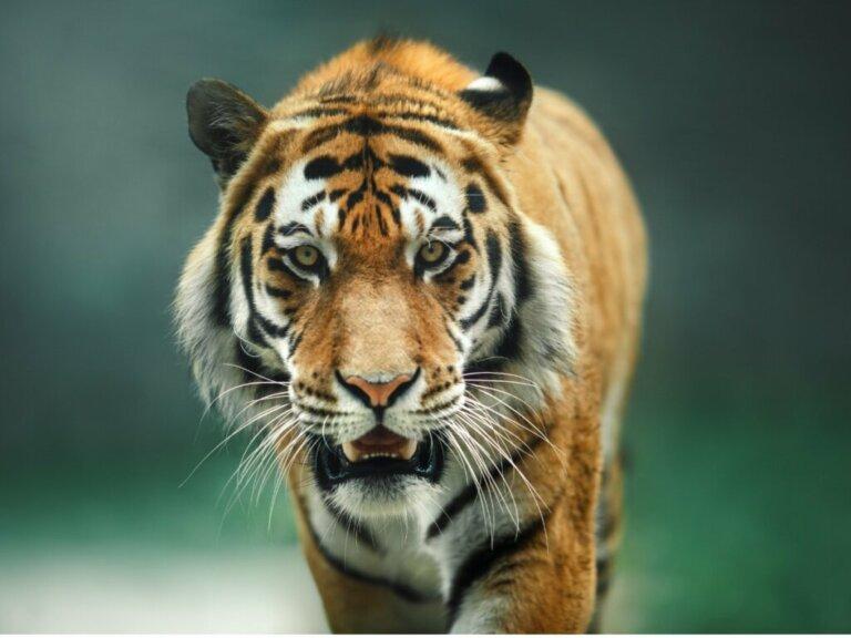Il comportamento della tigre