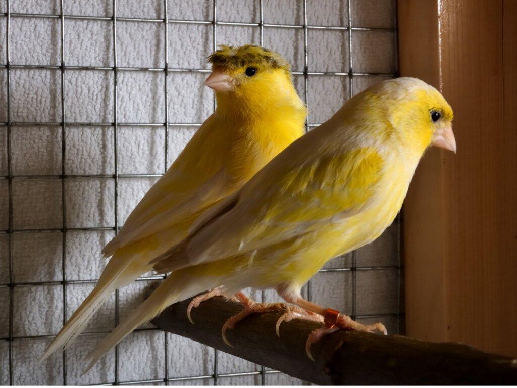 Il canarino smette di cantare: cause e soluzioni