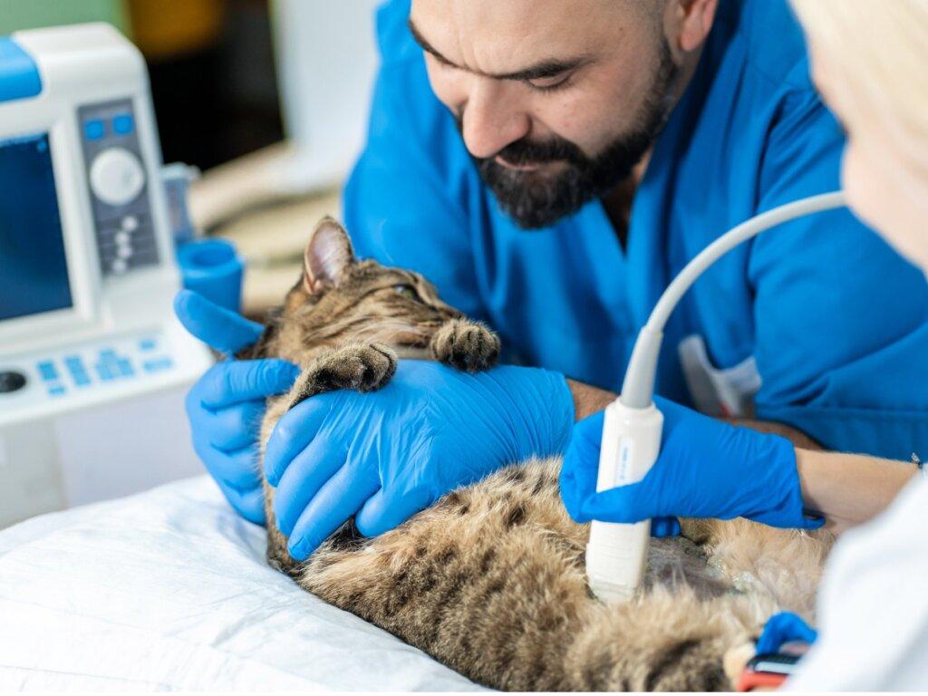 Ascite nei gatti: cause, sintomi e trattamento