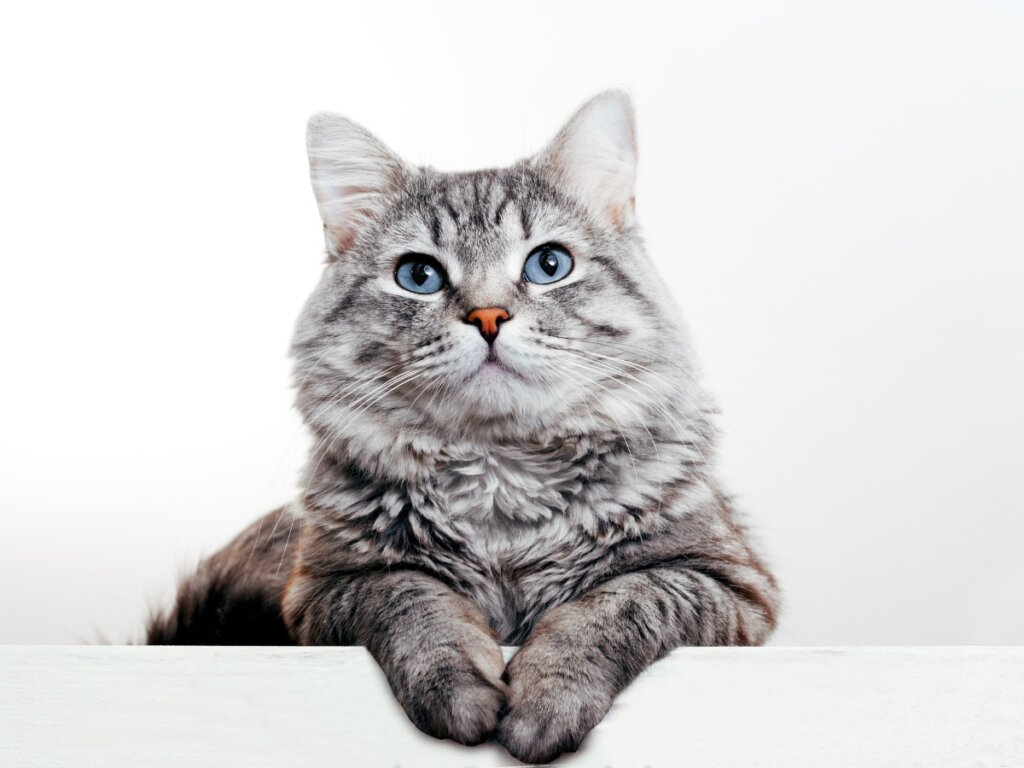 Infertilità nei gatti: cause, diagnosi e trattamento