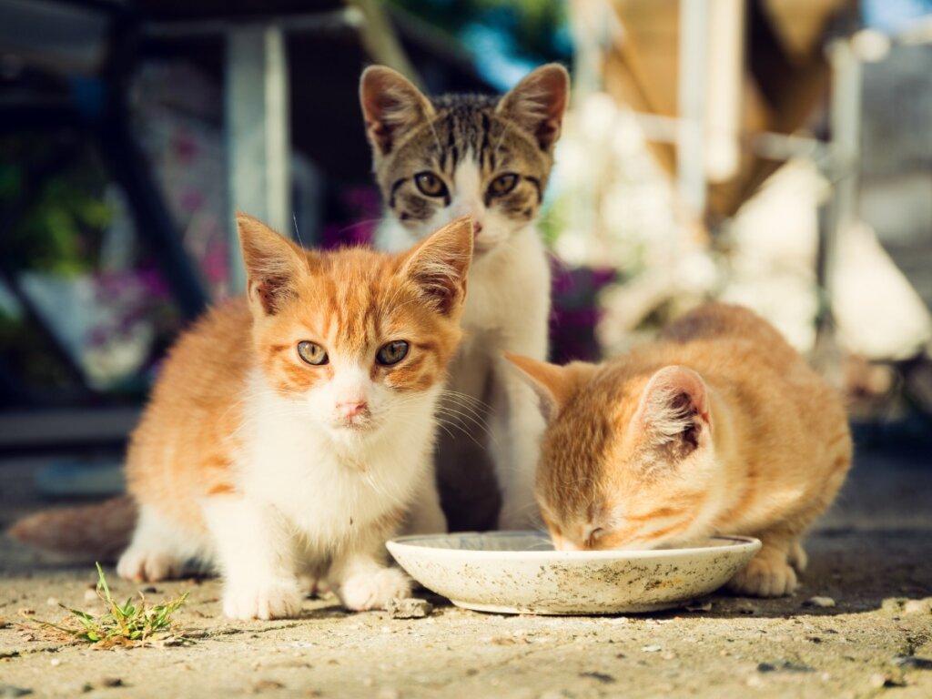 Come prendersi cura di un gattino orfano