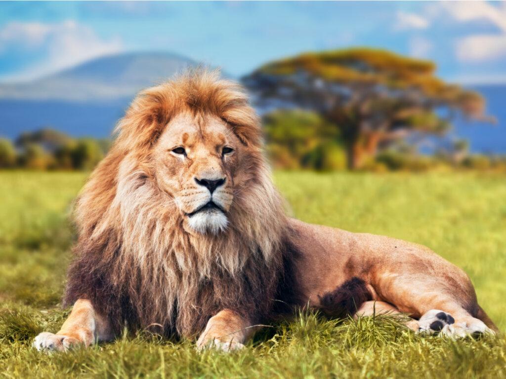 Il comportamento dei leoni
