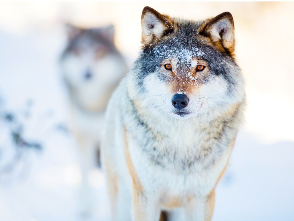 Il comportamento del lupo