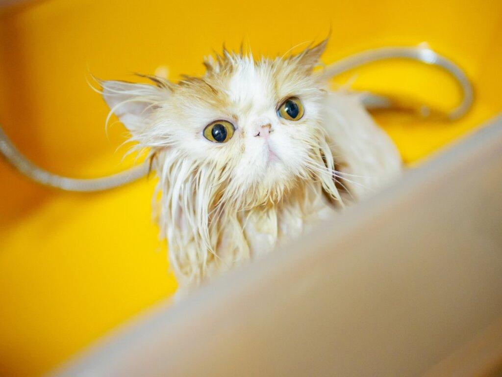 6 passi per fare il bagno a un gatto persiano