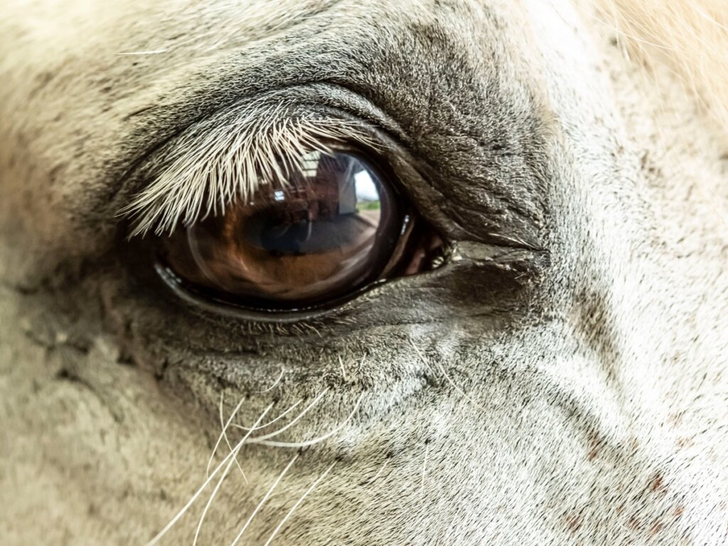Glaucoma nei cavalli: cause, sintomi e trattamento