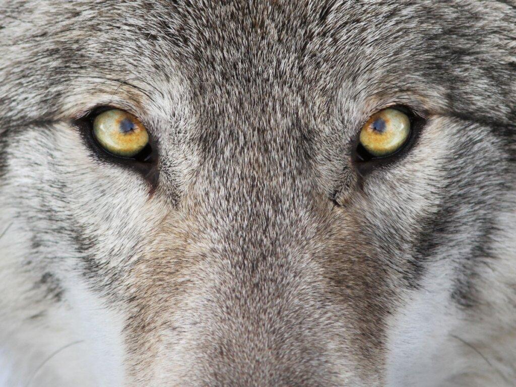 5 differenze tra lupi e cani