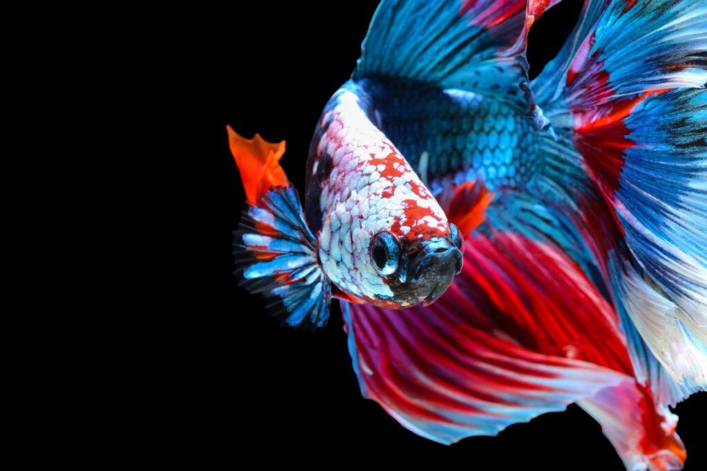 Pesce combattente: 10 curiosità