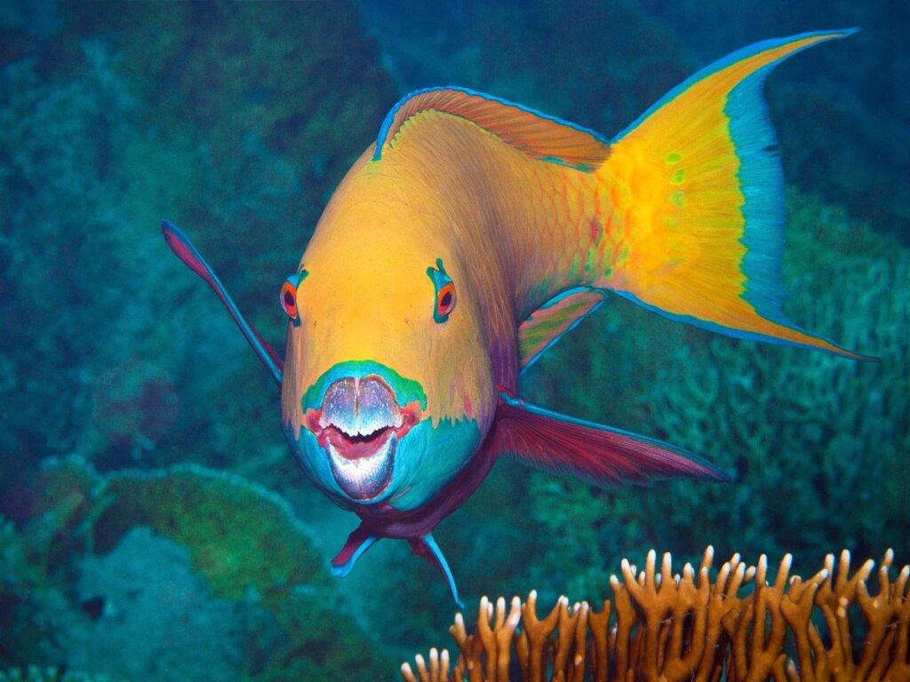 7 curiosità sul pesce pappagallo