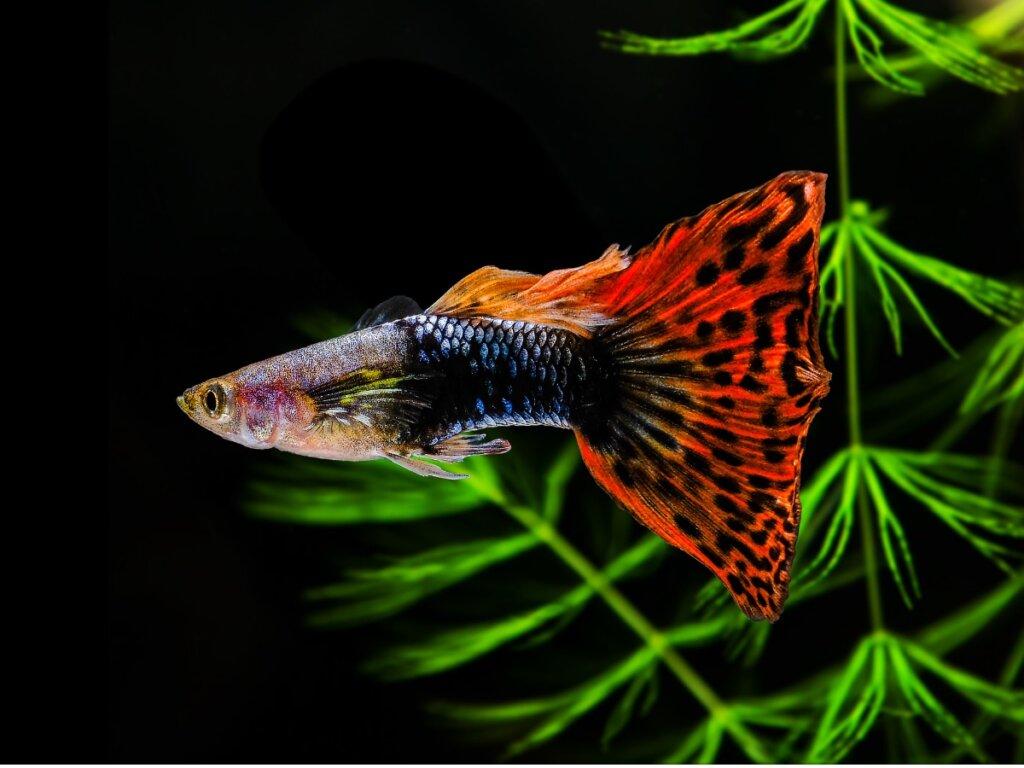 12 pesci per principianti per un acquario di acqua dolce