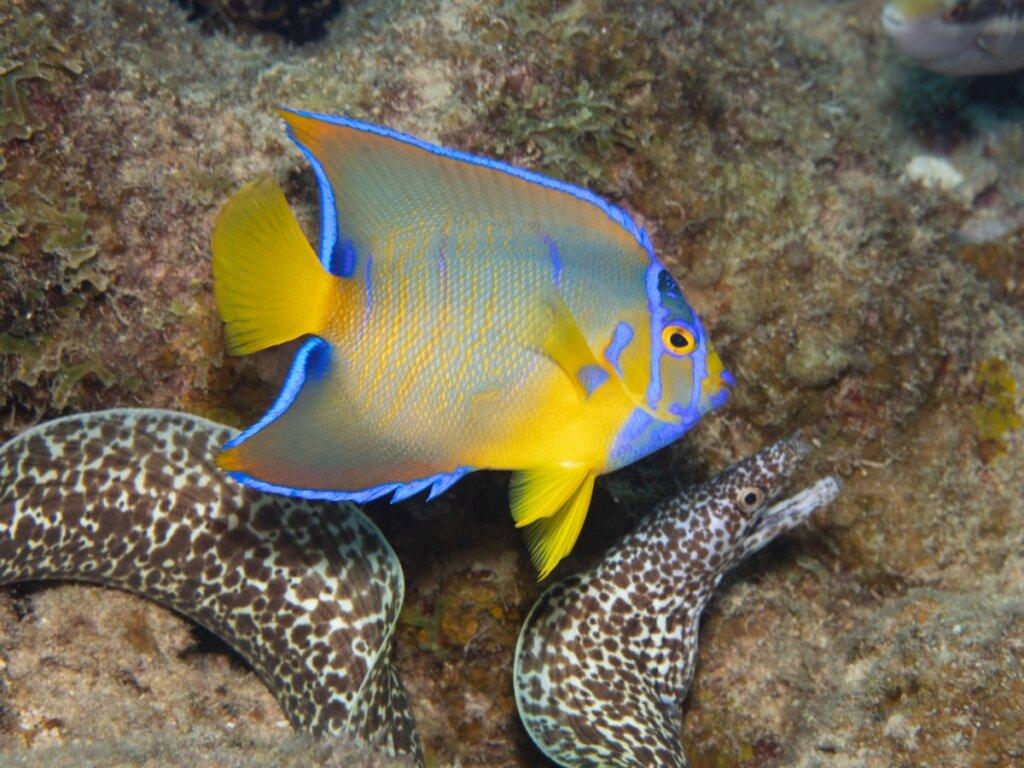 Pesce angelo regina: habitat e caratteristiche