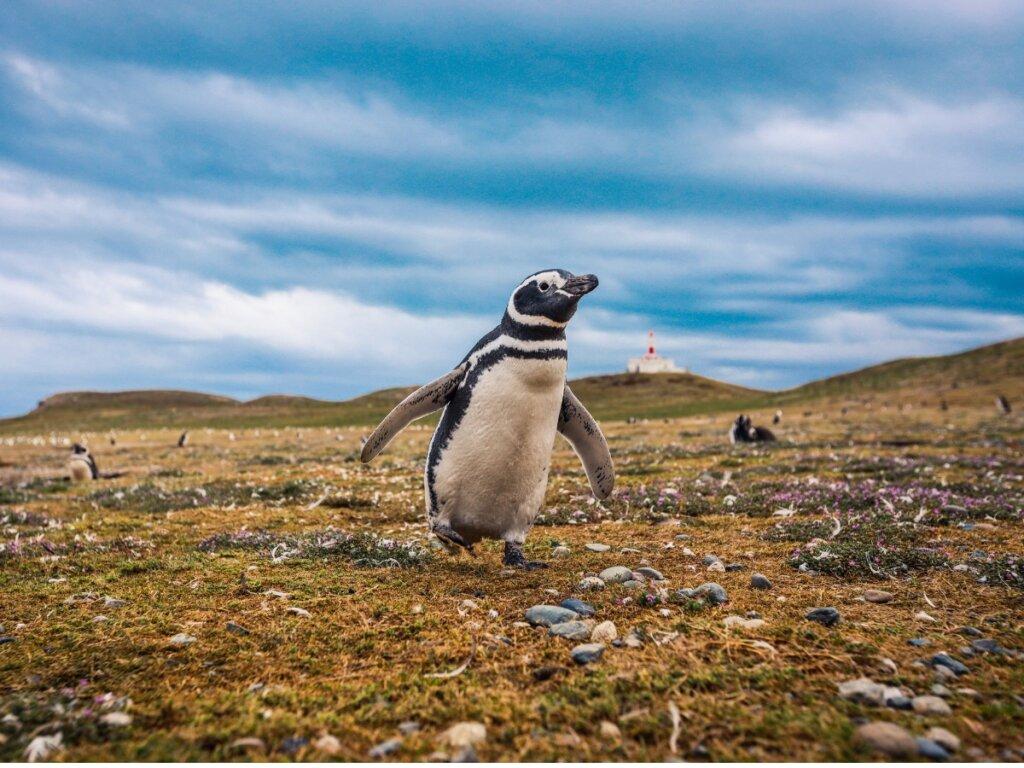 Pinguino di Magellano: habitat e caratteristiche