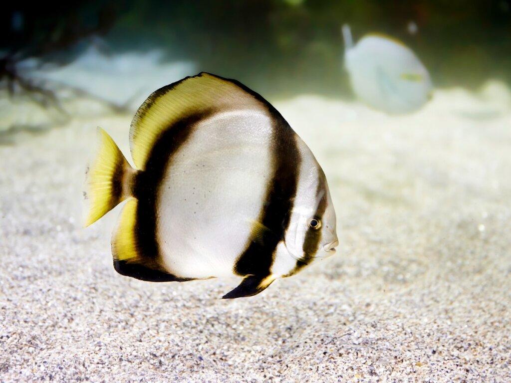 Pesce pipistrello: habitat e caratteristiche