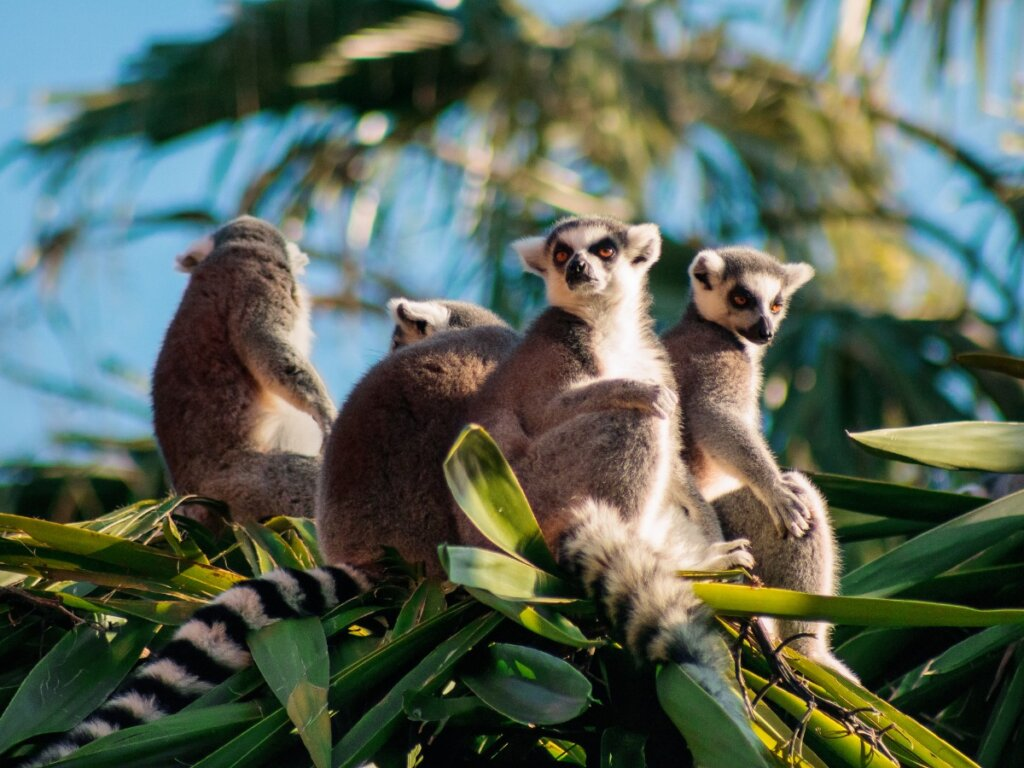 La maggior parte dei primati del Madagascar è in pericolo di estinzione