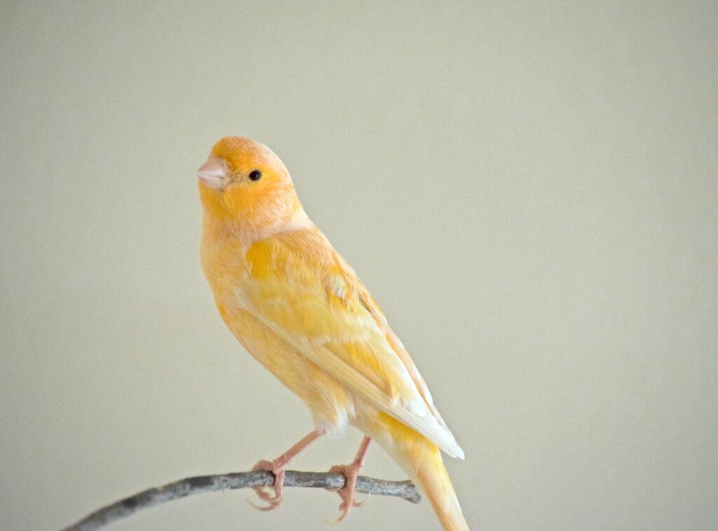 Perché il canarino perde le piume?