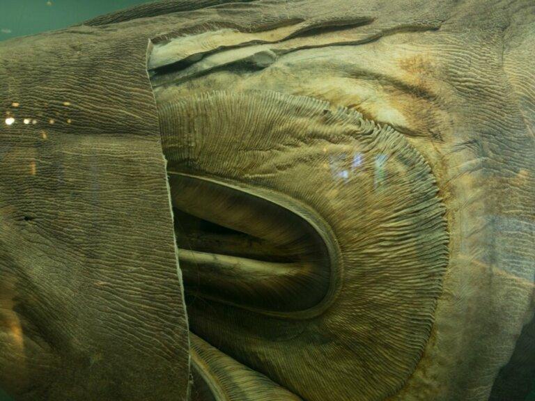 Squalo bocca grande: habitat e caratteristiche