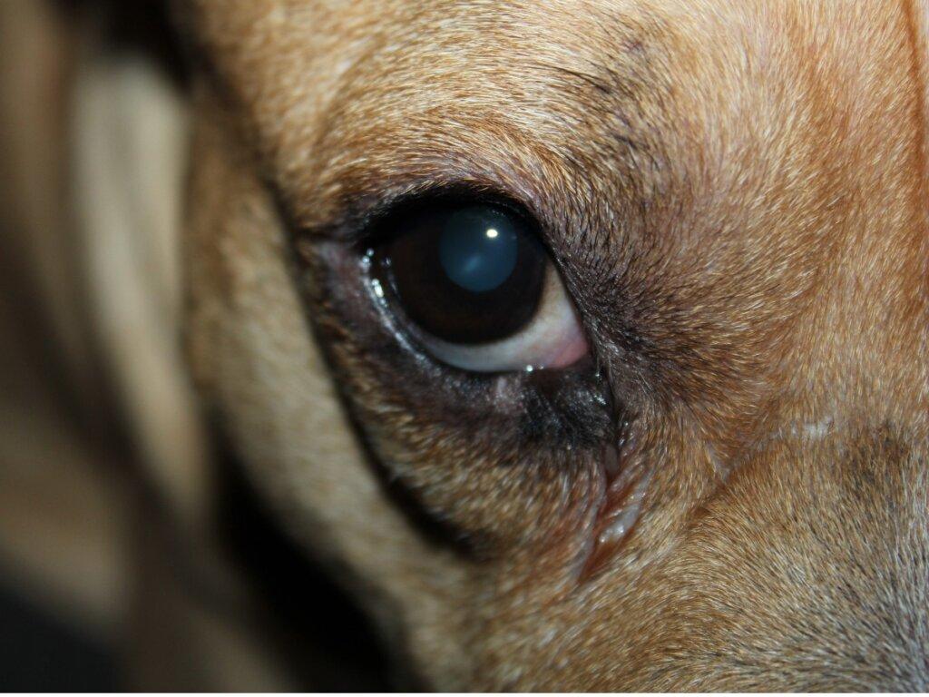 Rossore e gonfiore agli occhi nei cani: cause e rimedi