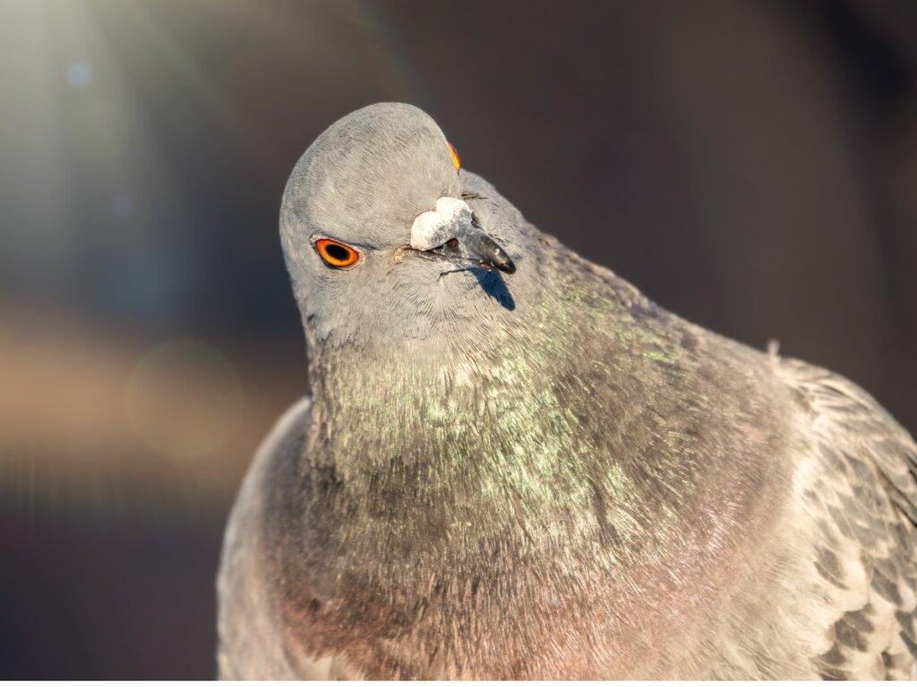 Il comportamento dei piccioni