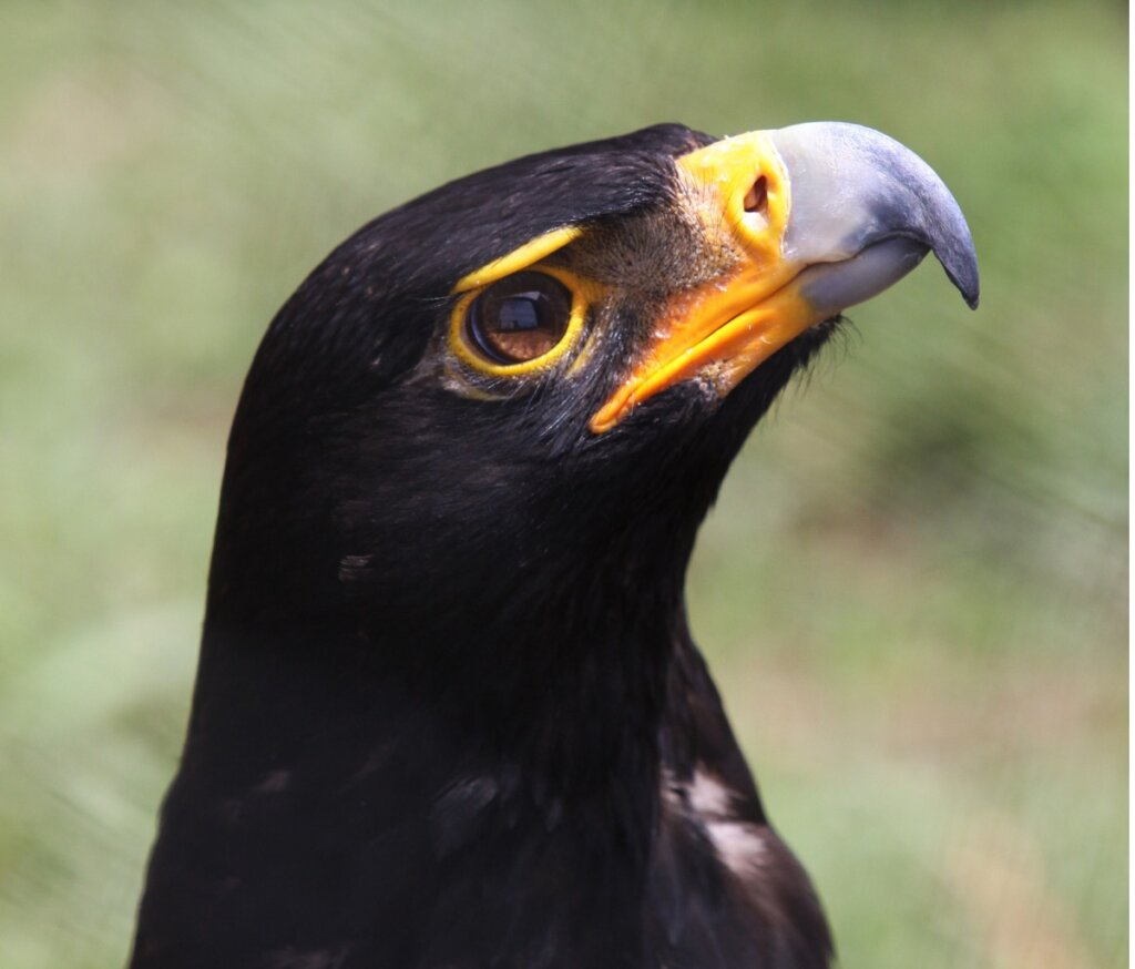 Aquila nera: habitat e caratteristiche