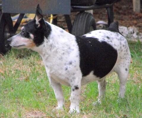 Teddy Roosevelt Terrier: tutto su questa razza