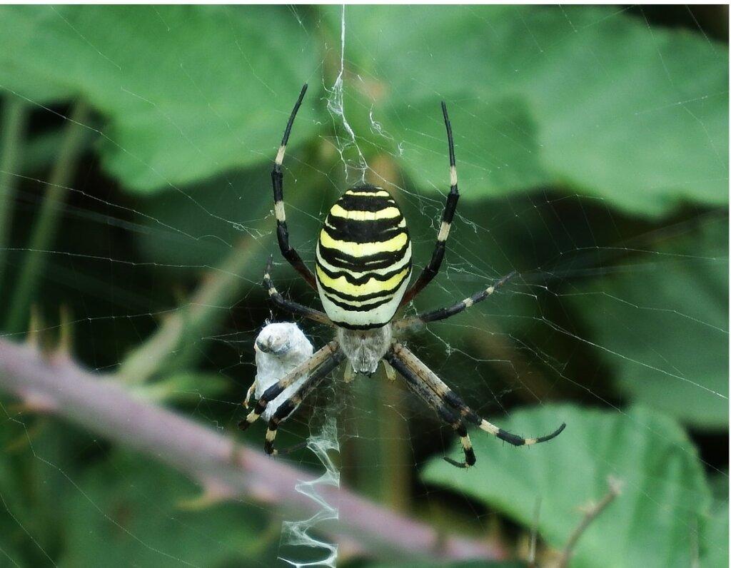 Ragno vespa: habitat e caratteristiche