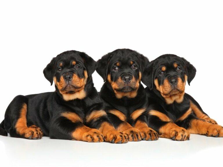 Prendersi cura di un cucciolo di Rottweiler