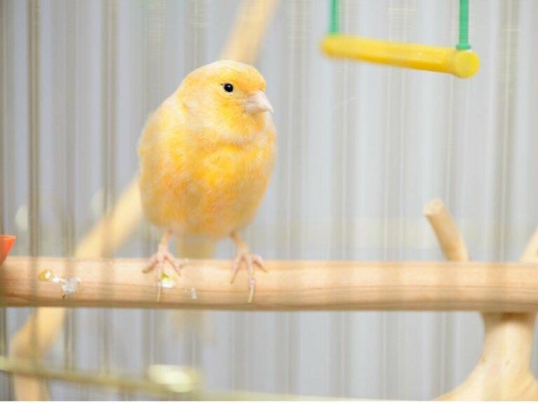 Perché il canarino si gonfia e arruffa le piume?